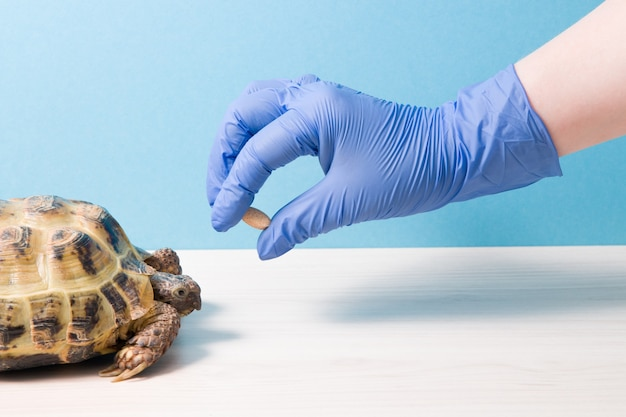 Land de centraal-aziatische schildpad met rachitis op een tafel in het kantoor van een herpoloog-dierenarts