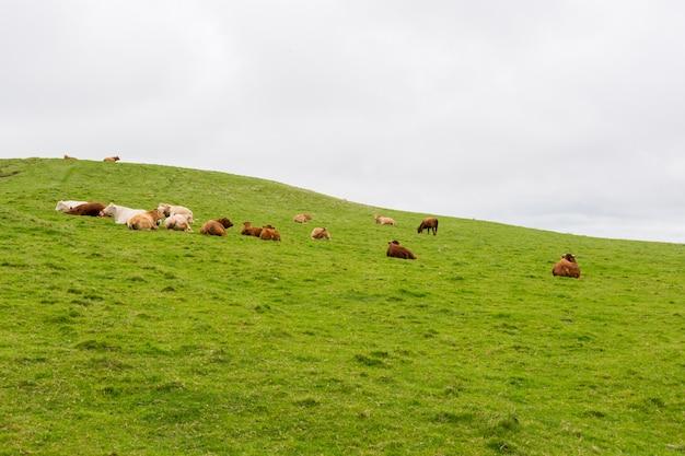 Landascapes van ierland. koeien grazen in de buurt van cliffs of moher