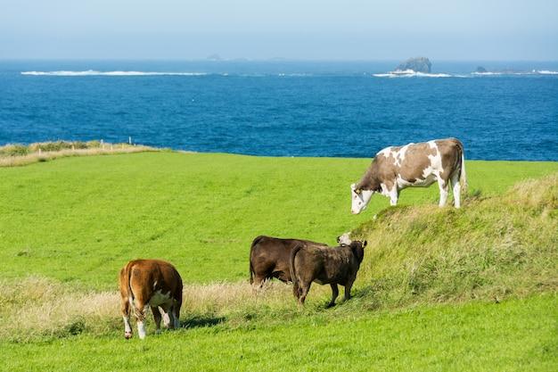 Landascapes van ierland. malin head in donegal. koeien grazen