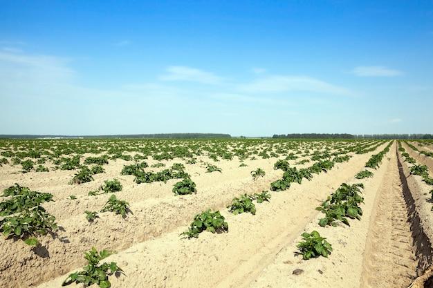 Landbouw, aardappelveld agrarisch veld waarop groene aardappelen worden verbouwd. zomertijd