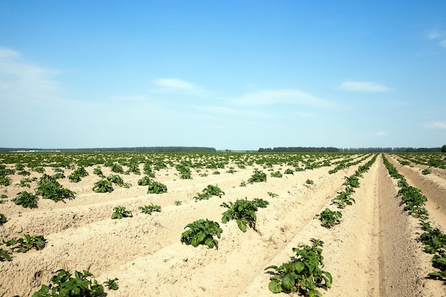 Landbouw aardappelveld agrarisch veld waarop zomertijd groene aardappelen groeit