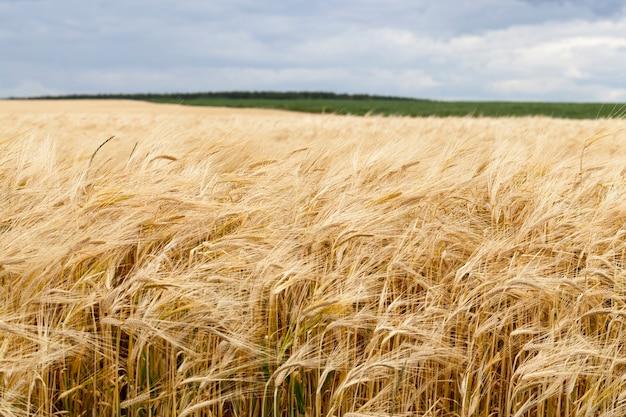 Landbouw, activiteiten op het platteland om een oogst van natuurlijk voedsel te verkrijgen, biologische landbouw, veld met een nieuwe oogst plantaardig voedsel