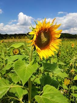 Landbouw, buitenshuis oogsten. close-up van een zonnebloem tegen een blauwe hemel en mooie wolken.