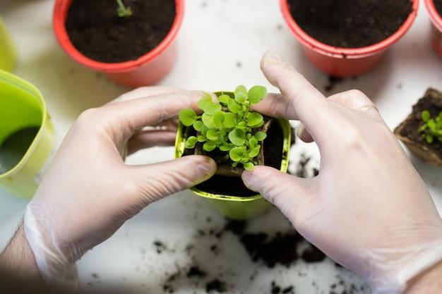 Landbouw. de jonge mensenhanden sluiten omhoog het planten van de zaailingen in containers met de grond.