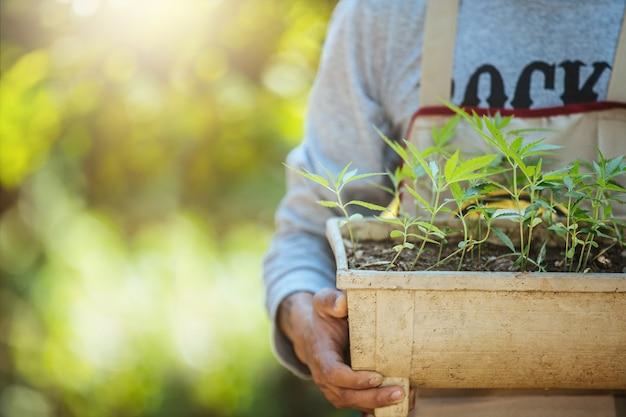 Landbouw die potten van marihuanabomen houden. cannabis op mooie achtergrond.