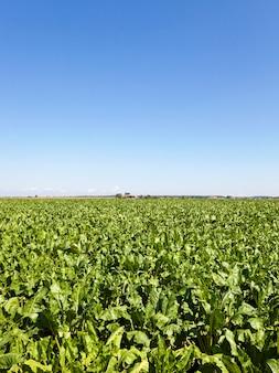 Landbouw - een landbouwveld waarop bieten groeien. zomertijd van het jaar