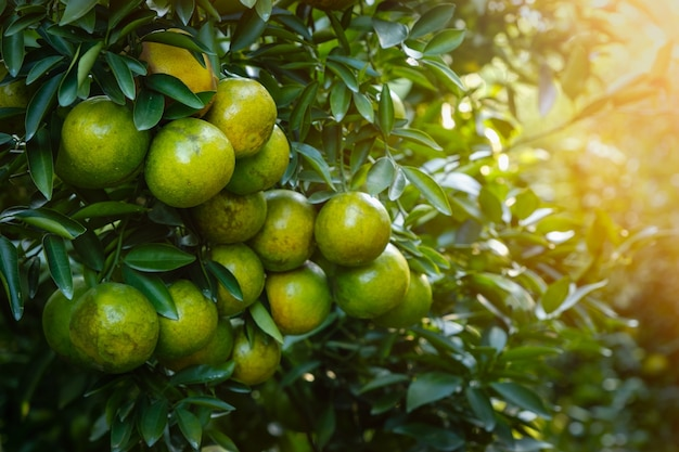 Landbouw en plantageconcept en oranje lichtproces