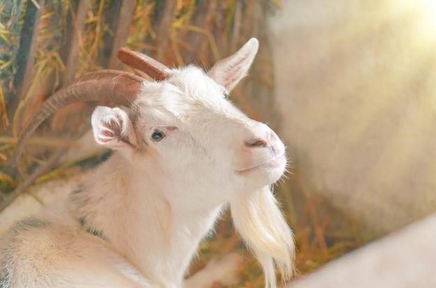 Landbouw fokken van geiten. wit geitenportret