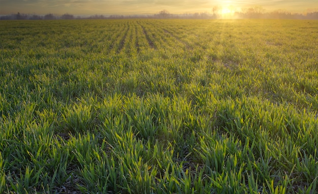 Landbouw, groen tarweveld, ochtendzonsopgang. bladeren van ontkiemend graan op de boerderij