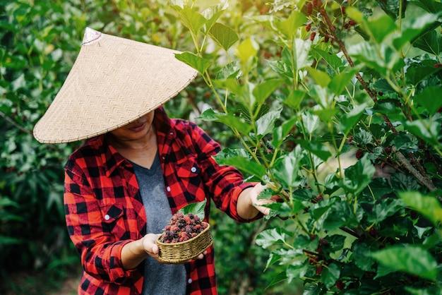 Landbouw of boeren oogsten verse moerbei, zwarte rijpe en rode onrijpe moerbeien op de tak van de boom. gezonde bessen.