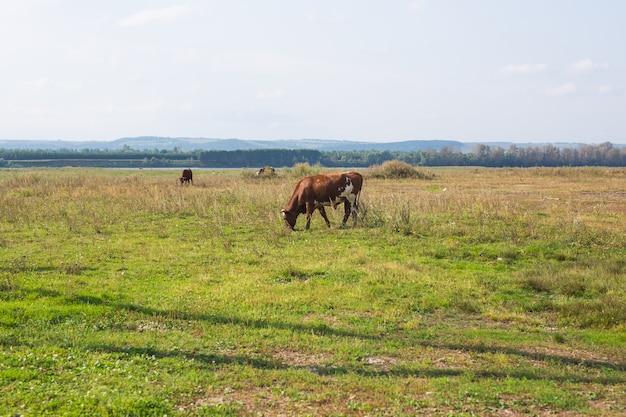 Landbouw, schapen grazen in een weiland, een herder graast schapen