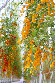 Landbouw van de verse rijpe rode en gele groei van de tomatenaanplanting in organische glastuin klaar om te oogsten.