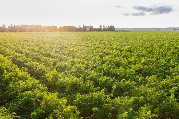 Landbouw van wit-rusland, wortelveld in de zomer, rijen planten, zonsondergangtijd