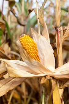 Landbouw veld waarop groeit klaar voor de oogst rijpe gele maïskolven en haar. herfstseizoen.