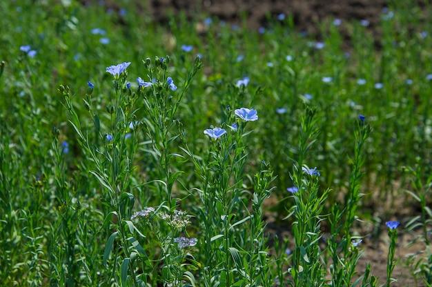 Landbouwbedrijfgebied van mooie lijnzaadplanten en bloemen, landbouwgebied.