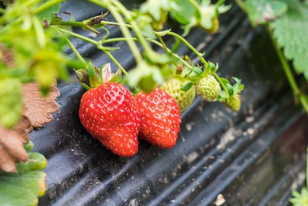 Landbouwboerderij van aardbeienveld