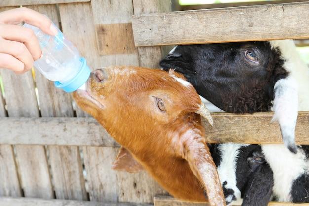 Landbouwer die melk voedt aan landbouwbedrijfgeit.