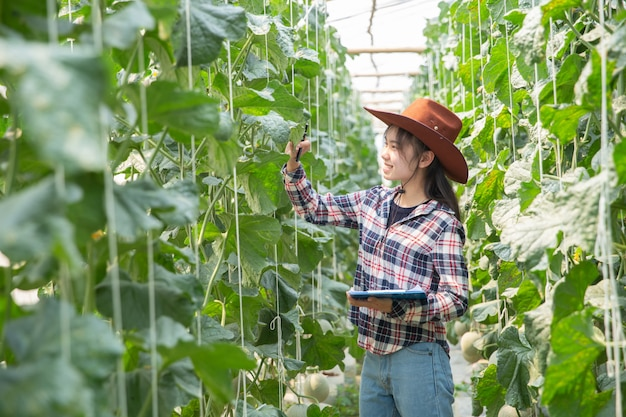 Landbouwer die meloen op de boom controleert. concepten van duurzaam leven, buiten werken, contact met de natuur, gezonde voeding.