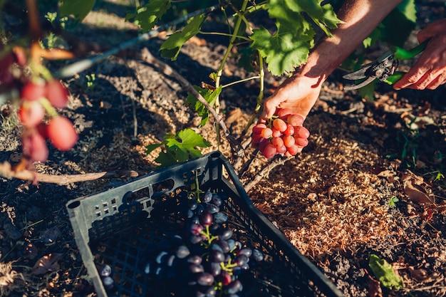 Landbouwer die oogst van druiven op landbouwbedrijf verzamelen, mens die rode tafeldruiven met pruner snijden en het in doos zetten