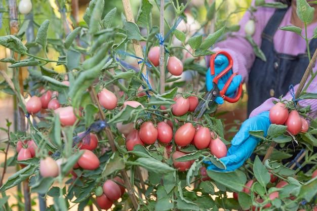 Landbouwer die rode tomaten in de moestuin oogsten door te snijden.