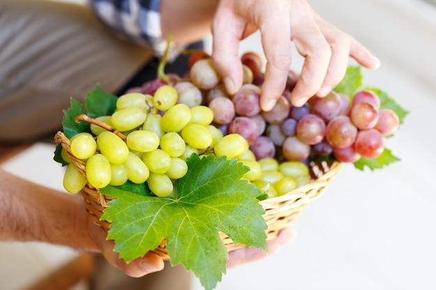 Landbouwer die roze en witte druiven houdt