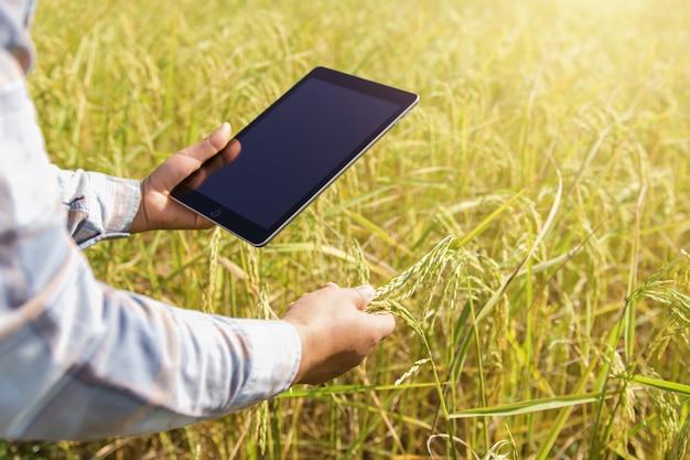 Landbouwer die tablettechnologie gebruiken die rijst het groeien in landbouwbedrijf inspecteren