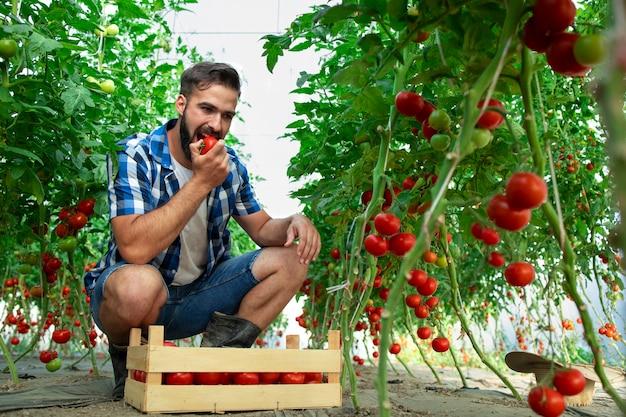 Landbouwer die tomatengroente proeft en de kwaliteit van biologisch voedsel in kas controleert