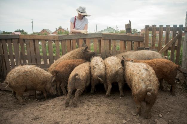 Landbouwer die varkens in een varkenskot behandelen
