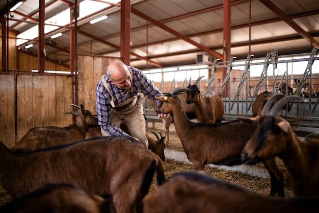 Landbouwer die voor huisdieren zorgt en met geiten op boerderij speelt.