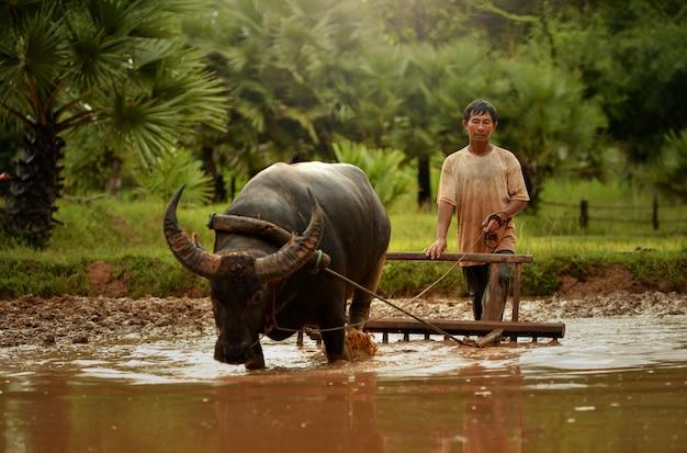 Landbouwer en buffelrijstvelden die tijdens zonsondergang, uitstekende stye, thailand werken