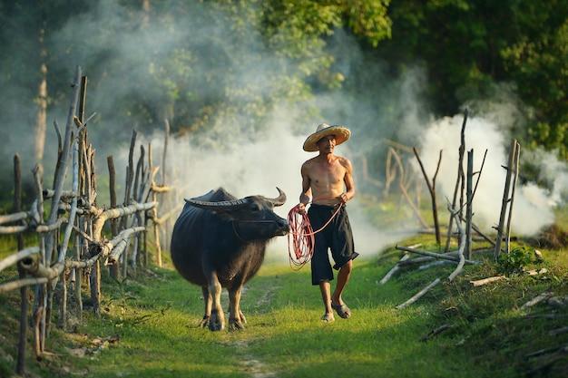 Landbouwer en buffels tijdens zonsondergang, thailand