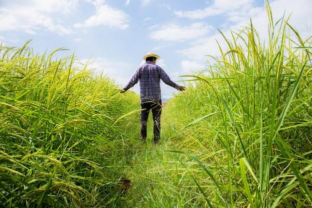 Landbouwer in padieveld met zonlicht.
