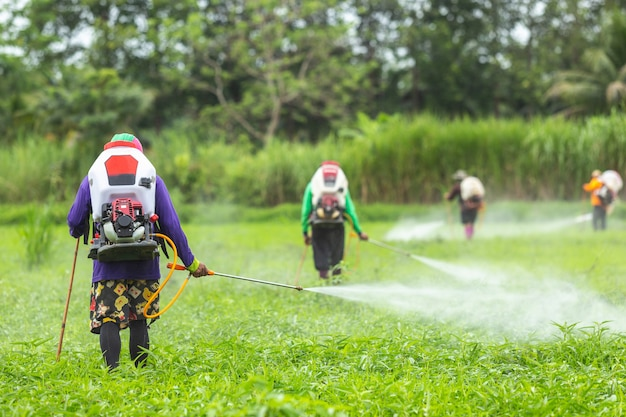 Landbouwer met machine en spuitend chemisch product aan jong groen padieveld