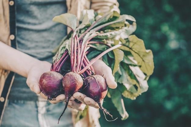 Landbouwer volwassen mens die verse smakelijke bieten in tuinochtend het stelen houden