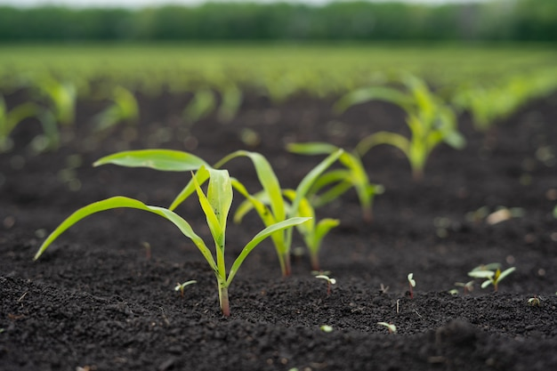 Landbouwersgebied met klein jong spruitengraan