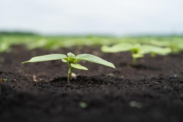 Landbouwersgebied met kleine spruiten zonnebloem