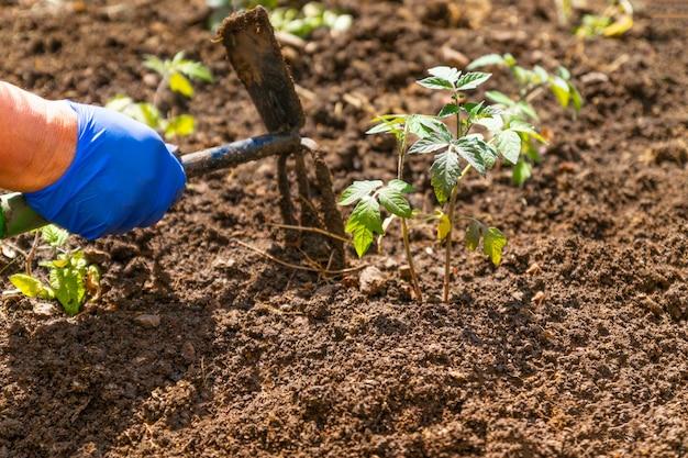Landbouwershand die tomatenzaailingen in tuin in openlucht planten. biologische teelt