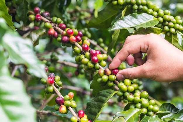 Landbouwershand met koffiebonen die, verse koffie op boom in het noorden van thailand rijpen