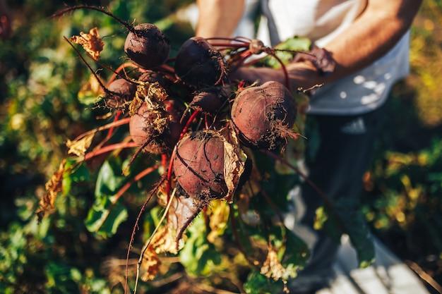 Landbouwershanden die een bos van vers geoogste bieten en een tuinspade houden