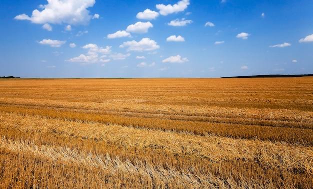 Landbouwgebied, dat de oogst van granen uitvoerde. zomer