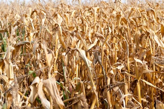 Landbouwgebied, dat rijpe maïskolven groeit die klaar zijn voor de oogst.