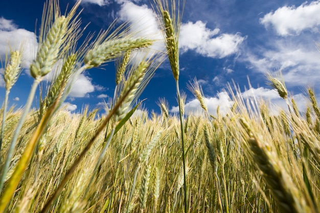 Landbouwgebied met aartjes van groene rogge