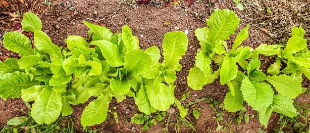 Landbouwgebied met de groene salade van de bladsla op tuinbed op plantaardig gebied