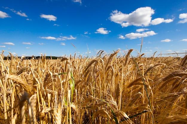 Landbouwgebied met graan - landbouwgebied waar een boer granen verbouwt. gebied van tarwe