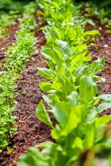 Landbouwgebied met groene bladslasalade en peterselie op tuinbed op groentegebied