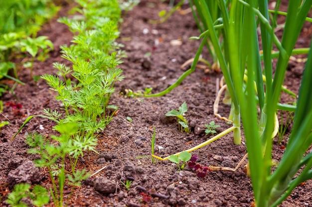 Landbouwgebied met groene bladslasalade en ui op tuinbed op groentegebied