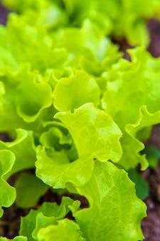 Landbouwgebied met groene bladslasalade op tuinbed in groentegebied. tuinieren achtergrond met groene sla planten. biologisch gezondheidsvoedsel veganistisch vegetarisch dieetconcept Premium Foto
