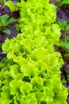 Landbouwgebied met groene bladslasalade op tuinbed in groentegebied. tuinieren achtergrond met groene sla planten. biologisch gezondheidsvoedsel veganistisch vegetarisch dieetconcept