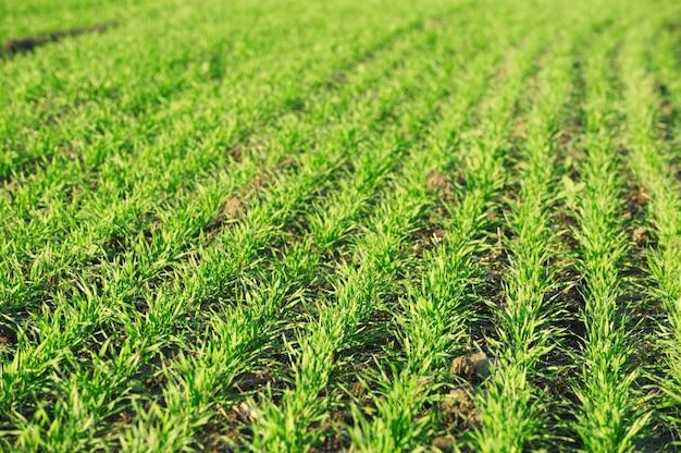 Landbouwgebied met groene plantenspruiten
