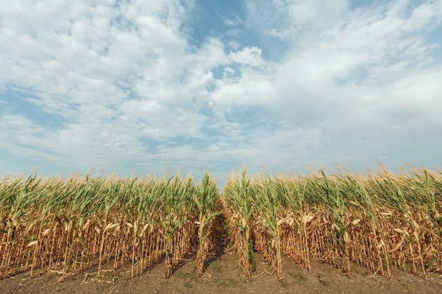 Landbouwgebied met maïs